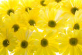 Background of Yellow Shasta Daisy Flowers Royalty Free Stock Photo