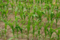 Background of young corn plants in a field close up Royalty Free Stock Photo