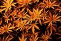 Background of young shoots of marijuana. Growing organic cannabis on the farm. Wallpaper of marijuana Royalty Free Stock Photo