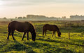 Backlight picture of two Icelandic horses at sunset Royalty Free Stock Photo