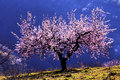 Backlit Almond Blossom Royalty Free Stock Photo