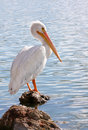Backlit American White Pelican Royalty Free Stock Image