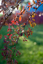 Backlit barberry bush in the park Royalty Free Stock Image