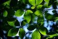 Backlit Beech Leaves