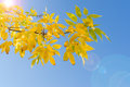Backlit branch of autumn tree with yellow leaves Royalty Free Stock Photo