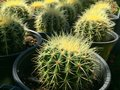 Backlit Cactus Succulent Variety at Local Market Royalty Free Stock Photo