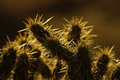 Backlit Cholla Cactus Royalty Free Stock Photo