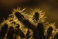 Backlit Cholla Cactus Royalty Free Stock Photo