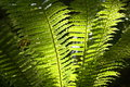 Backlit fern fronds Royalty Free Stock Photo