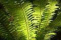 Backlit fern fronds