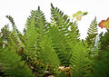 Backlit Ferns Stock Image