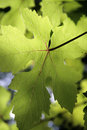 Backlit Grape Leaf Stock Photography