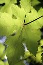 Backlit Grape Leaf Stock Photography