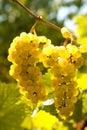 Backlit grapevine