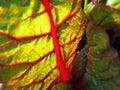 Backlit mangold leaf Royalty Free Stock Photo