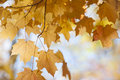 Backlit maple leaves in fall orange closeup on sunny autumn day Royalty Free Stock Photos