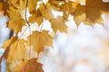 Backlit maple leaves in fall orange on tree branch autumn sunshine with copy space Royalty Free Stock Images
