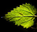 Backlit nettle leaf stinging urtica dioica back lit by a low sun Royalty Free Stock Photos