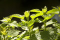 Backlit nettles Stock Images