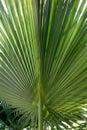 Backlit Palm Leaf Royalty Free Stock Photo