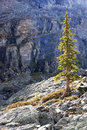 Backlit pine tree opabin plateau yoho national park canada british columbia Stock Photo