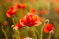 Backlit poppy flower in a field Stock Image