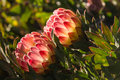 Backlit protea flowers Royalty Free Stock Photo