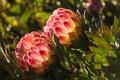 Backlit protea flowers