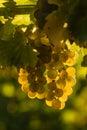 Backlit Sauvignon blanc grapes Royalty Free Stock Photo