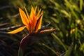 Backlit strelitzia flower detail of Stock Photo