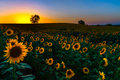 Backlit sunset sunflowers a view of a sunflower field at in kansas Royalty Free Stock Photo