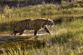 Backlit Tiger Coming out of the Water Stock Images