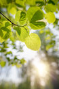 Backlit Tilia cordata Leaves Royalty Free Stock Photo