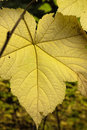Backlit vine maple leaf the part of the large from a in north idaho Stock Photography