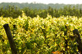 Backlit vines from a vineyard Stock Images