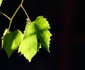 Backlit vineyard leaf Royalty Free Stock Image