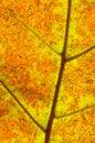Backlit White Oak Leaf Detail Royalty Free Stock Photos