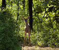 Backlit White-Tailed Deer (Odocoileus virginianus) On Trail Stock Images