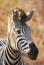 Backlit zebra portrait Royalty Free Stock Image
