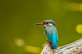 The backside of common kingfisher alcedo atthis on branch in nature Royalty Free Stock Photos