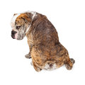 Backside of Dog With Mange Royalty Free Stock Photo