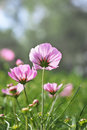 Backside of pink cosmos Royalty Free Stock Photo