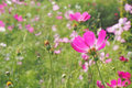 Backside of pink cosmos flower Royalty Free Stock Photo