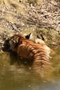 Backview of Bengal Tiger sleeping in a waterhole Royalty Free Stock Photo