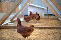 Backyard Chickens Royalty Free Stock Photo