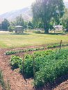 Backyard garden a sustainable with green leaves and plants lettuce and rows of crops ready to harvest Stock Photo