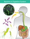 Bacteria in Digestive System. Illustration info graphic. Royalty Free Stock Photo