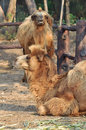 Bactrain camel the bactrian is the largest mammal in its native range and rivals the dromedary as the largest living Royalty Free Stock Photos