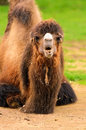 Bactrian Camel Stock Images
