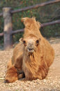 Bactrian camel camels have two humps rather than the single hump of their arabian relatives Royalty Free Stock Photos